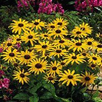 "Black-eyed Susan  LOCATION: sun, HEIGHT: 24-36""  Deer resistant & drought tolerant."