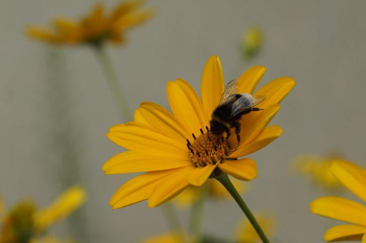 Czy wiecie, że pszczoły muszą odwiedzić 50-100 kwiatów, żeby napełnić wole nektarem i powrócić do ula? Kanie, Polska. Fot. Jan Gołąb