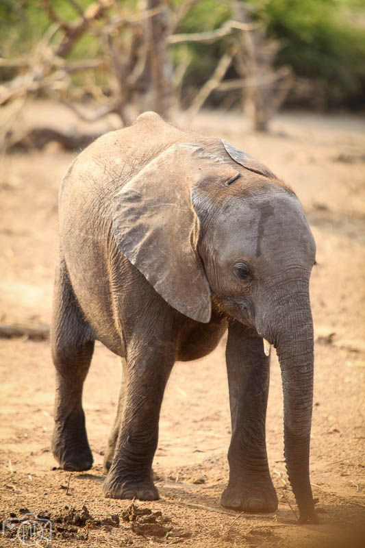 African Travel – Chobe #baby elephant #nature #Botswana