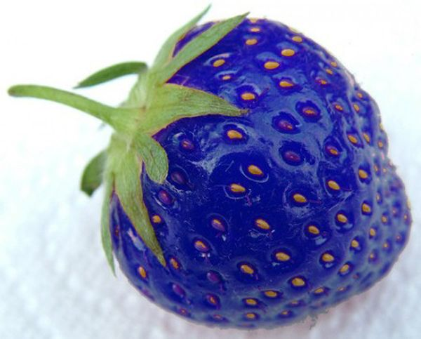 """This blue was purely unintentional as scientists wanted to figure out a way to protect strawberries from frost and found that a gene in """"Artic Flounder Fish"""" produced antifreeze properties to protect itself from freezing waters. The result of genetically modifying this gene created a shockingly blue fruit that can withstand very cold temperatures and won't turn into mush in your freezers. >> That is craziness!"""
