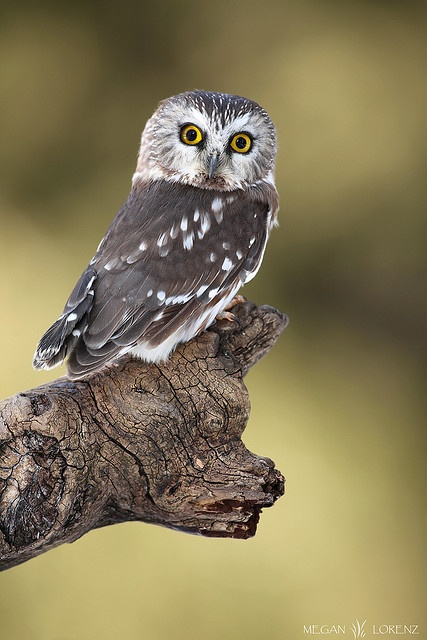 Northern Saw-Whet Owl #Owl  A small owl, about the size of a robin, with no ear tufts, a white face, and streaked wings.