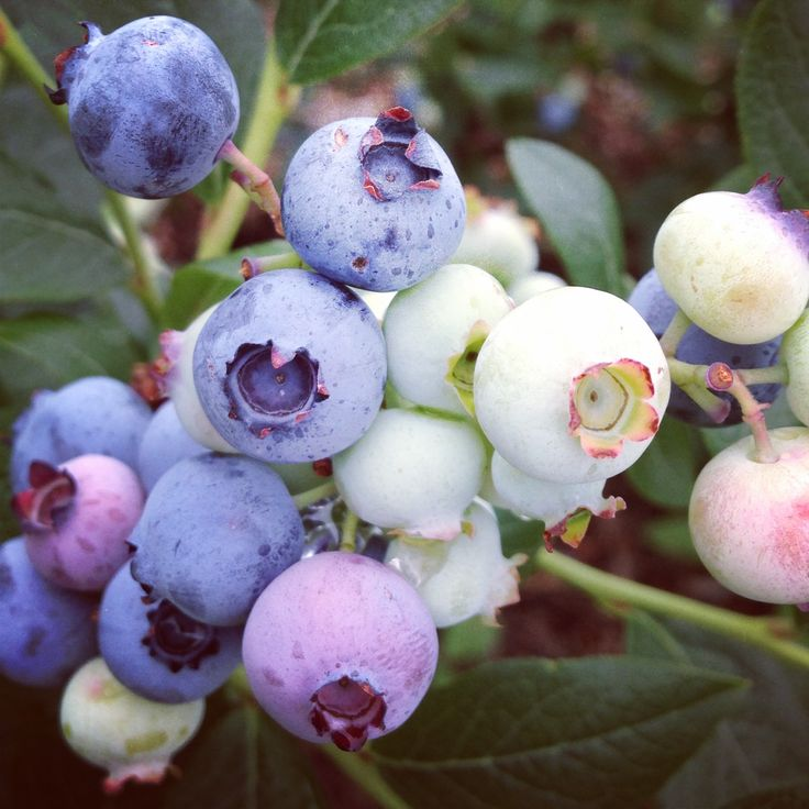 There's nothing better than fresh picked #blueberries in the summer. The best #PickYourOwn #PYO location is Alstede Farms in #NewJersey