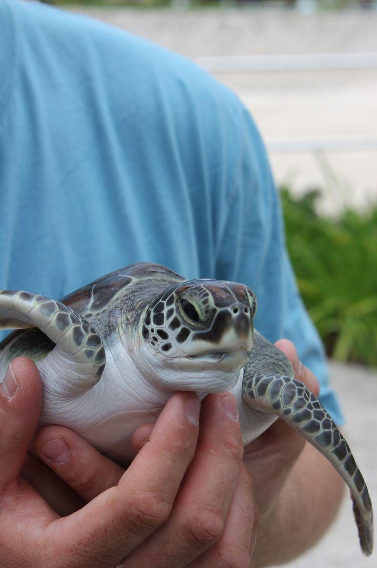 Green Sea Turtle Hatchery Grand Cayman Island I book travel! Land or Sea! http://www.getawaycruiseplanner.com