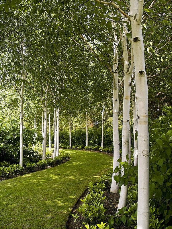 the green path - loving the silver birch but it would be quick to establish with eucalyptus as well