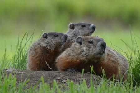 Learn all you wanted to know about groundhogs with pictures, videos, photos, facts, and news from National Geographic.