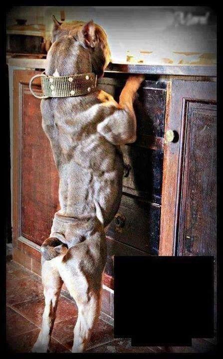 147 Best American Bully Pit Bulls Images On Pinterest