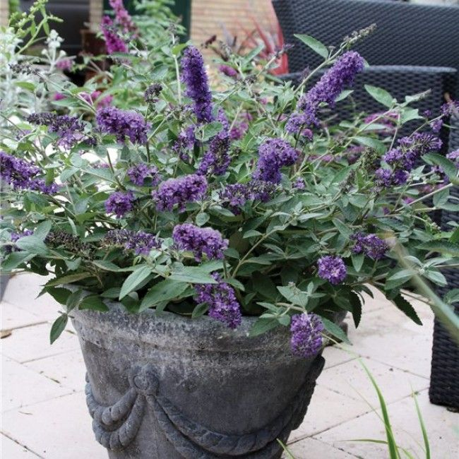 Blue Heaven Butterfly Bush (Buddleia 'Flutterby Petite Blue Heaven') is one of the most compact Buddleias staying between 2 and 3 feet tall. Its lavender-blue flowers that arrive late-spring are so flourishing they'll likely make the Lilac bushes jealous! Long tapered blooms last through summer and into fall, all the while attracting both birds and butterflies. Use Buddleia 'Blue Heaven' to spruce up any sunny spot in the courtyard of garden. Feel free to take a little piece of 'heaven'…