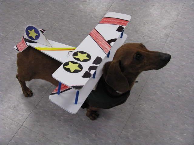Share your Halloweenie costumes! - Dachshund Forum : Dachshund Breed Dog Forums
