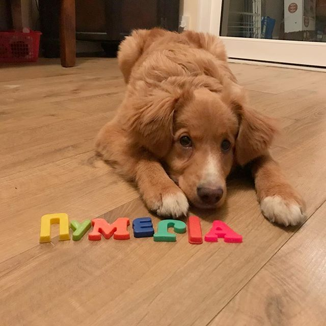 Instagram media by nymeria.the.toller - I'm that clever that I can even spell my own name! * * * * * #nymeria #novascotiaducktollingretriever #toller #novascotia #tollerpuppy #tollersofinstagram #novascotiaducktollingretrieversofinstagram #tollerworld #tolleroftheday #tollerpuppies #tollerpup #gundogpuppy #trickdogintraining #puppy #pup #puppylove #puppydog #puppyeyes  #cute #dogsofinstagram #dogsofinsta #ilovedogs #kronch #puppylove #icanspellmyname #clevergirl