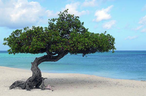 Divi divi tree on eagle beach in aruba print by david smith - Dive e divi ...