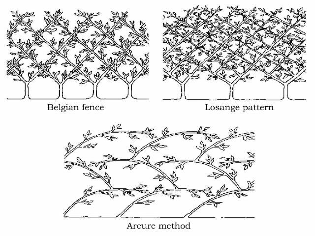 77 best ideas about espalier fruit tree training methods