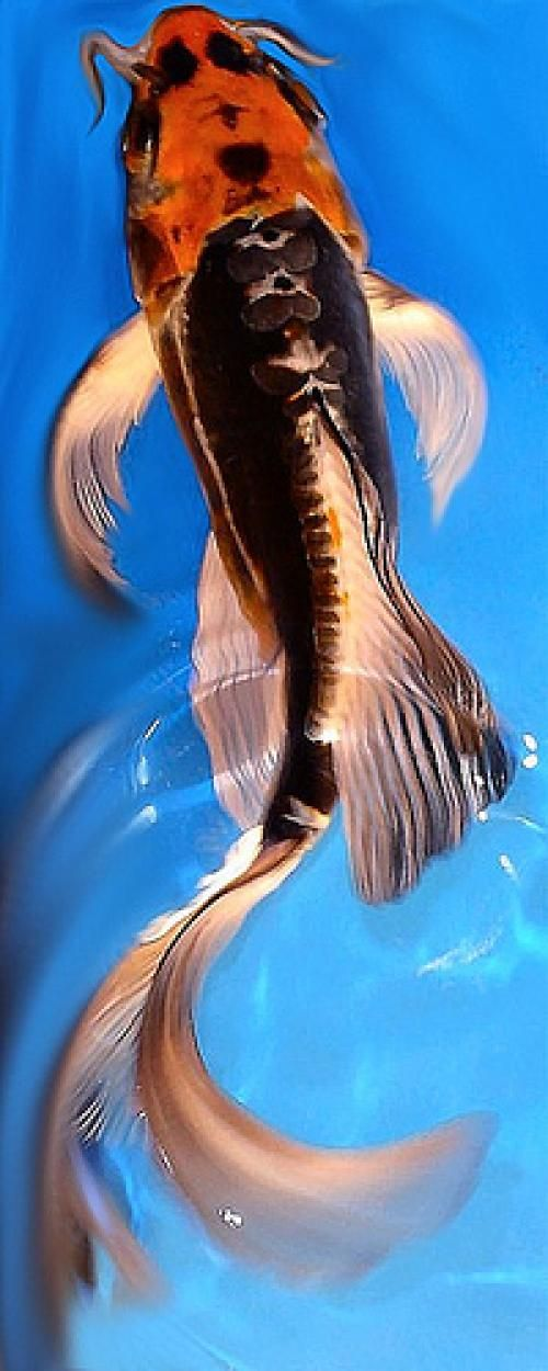 Butterfly Koi...my favorite variety