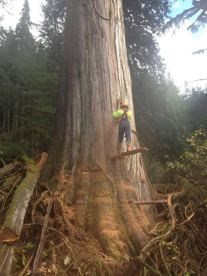 377 best images about big trees and cutting them down for What do we use trees for