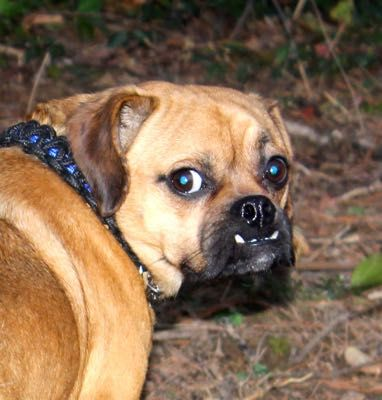 Pug dog for Adoption in Louisville, KY. ADN-482863 on PuppyFinder.com Gender: Male. Age: Adult