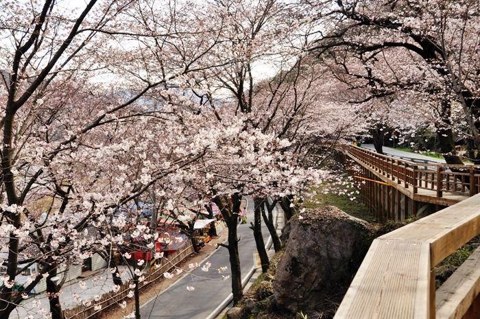 korea cherry blossoms hwagae hadong 2