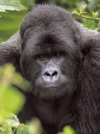 Seeing mountain gorillas in Rwanda.   Happiest days of my life.
