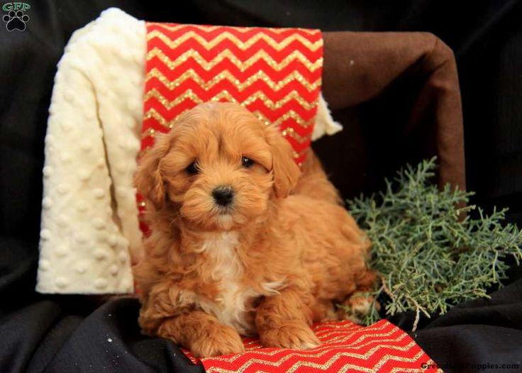 Dasher, Havapoo Puppy