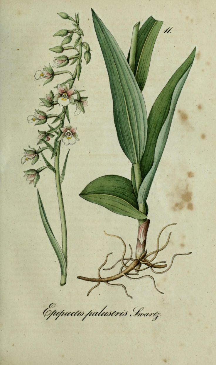 Flora regni Borussici : flora des Königreichs P...