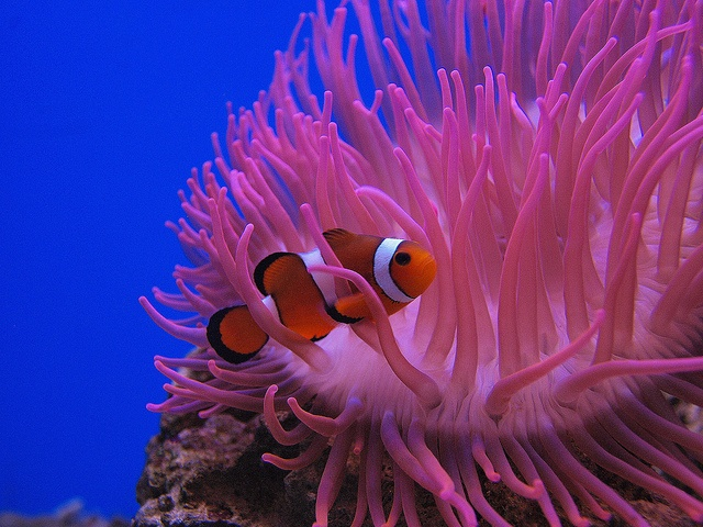 clown fish tattoo ideas pinterest to be the o 39 jays and pools. Black Bedroom Furniture Sets. Home Design Ideas