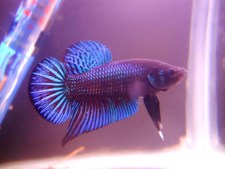 11 best female betta fish images on pinterest beta fish for Female betta fish pictures