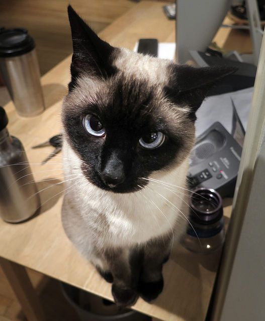 Siamese cats are chatty and can't handle being alone