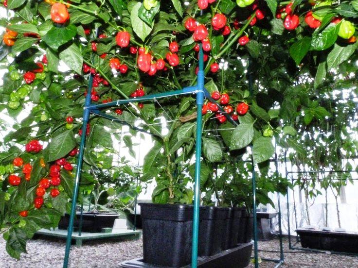 Quadgrow Planter Chillies - Habenero The Monster, Habenero Jonah, Black Naga, Trinidad Scorpion