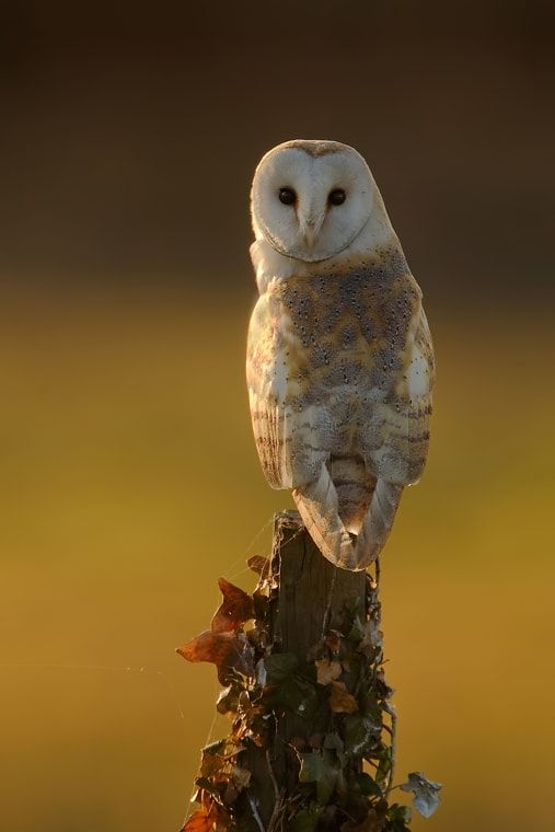 Barn Owl - This Barn Owl uses an old post to hunt from, she can hover like the Kestrel but it takes less energy using a post.  www.njpphotography.co.uk