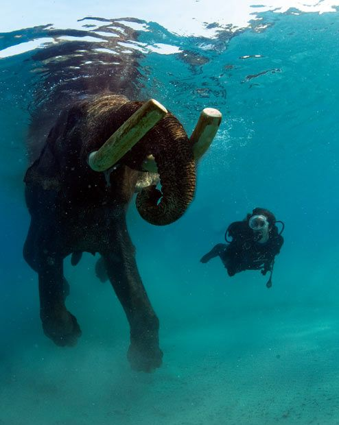 A diver swims with Rajan, the elephant, in the Indian Ocean off the Andaman Islands.