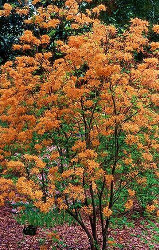 Don S Variegated Native Azalea Rhododendron Austrinum