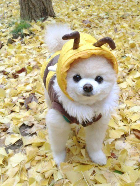 ポメラニアン 俊介くんの画像 プリ画像 Pomeranian SHUNSUKE