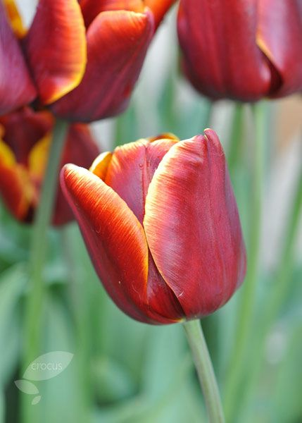 I love tulips - this lovely warm red with golden yellow trim is beautiful - Tulipa 'Abu Hassan'