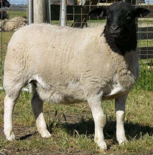 Black Headed Dorper - Hair Sheep. You apparently don't have to shear them and they are great meat sheep. Good to know.