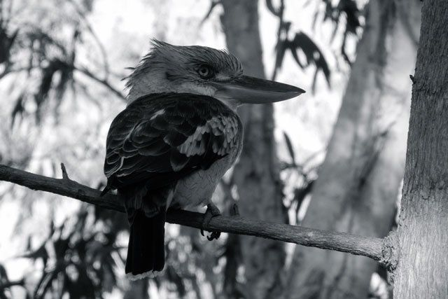 Kookaburra in Nitmiluk National Park, Australia