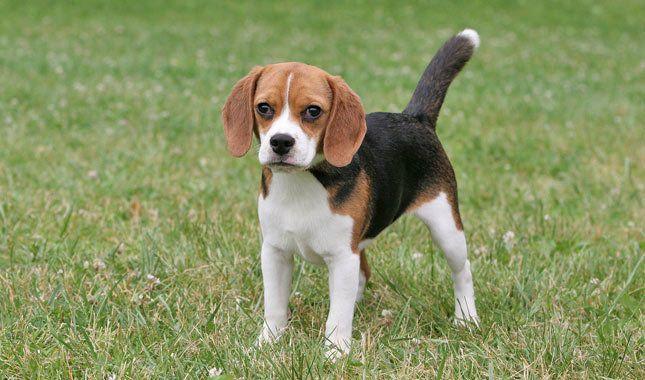 90 645 380 Beagle Dog Breed Dog Breeds Beagle Breeds