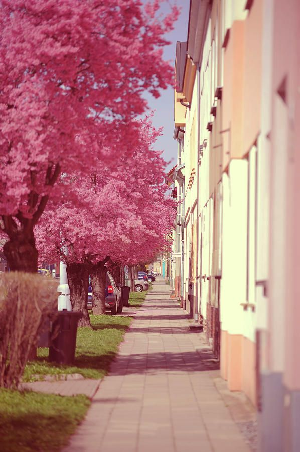 Spring Street With Pink Blooming Cherry Trees by Jenny Rainbow