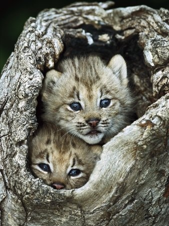 ~~ Canada Lynx (Lynx Canadensis) Kitten Pair Peering Out from Hollow Log ~~