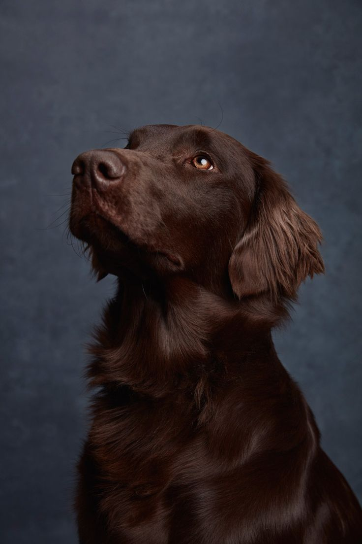 FlatCoated Retriever. By Ty Foster.
