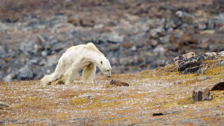 Video of Starving Polar Bear Rips Your Heart Out of Your Chest
