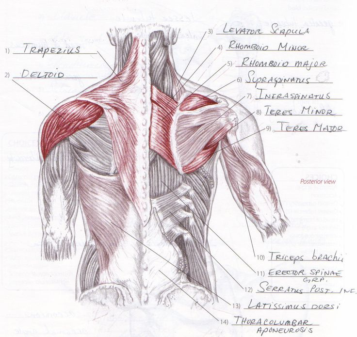 84 best muscle anatomy images on Pinterest | Muscle anatomy, Human ...