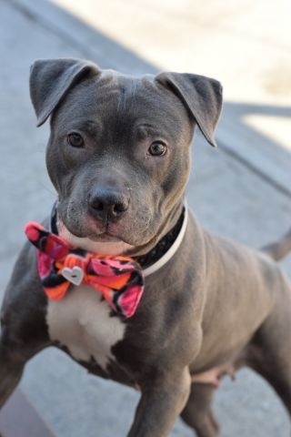 Brooklyn Center CHULA – A1064913 FEMALE, GRAY / WHITE, AM PIT BULL TER MIX, 1 yr, 7 mos OWNER SUR – EVALUATE, NO HOLD Reason LLORDNYCHA Intake condition EXAM REQ Intake Date 02/11/2016, From NY 11208, DueOut Date 02/11/2016