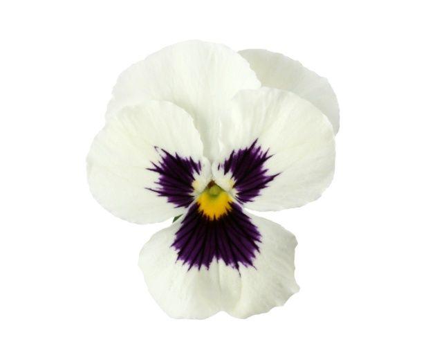 Utilizada em arranjos coloridos, a astromélia (Alstroemeria hybrida) tem flores parecidas com as dos lírios. Bastante durável, a planta forma lindos buquês