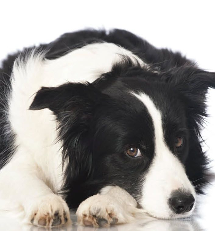 Border Collie Ingleside Animal Hospital Border Collie Dog