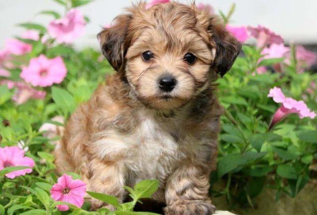 Mickey Yorkiepoo Puppy For Sale Keystone Puppies Yorkie Poo Puppies Yorkie Poo Animals