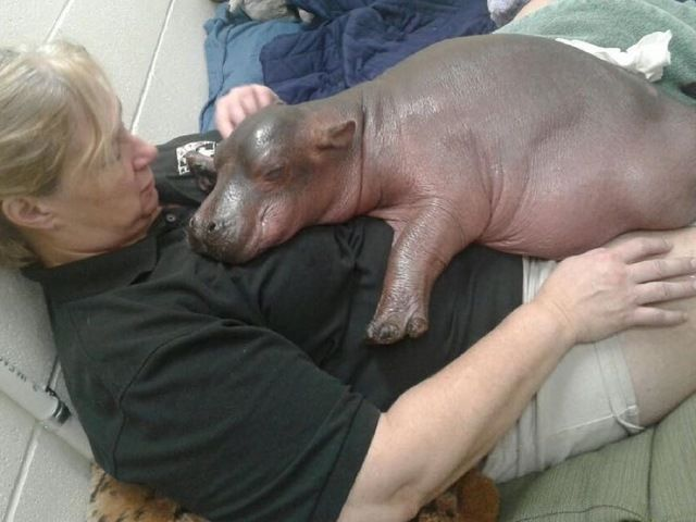 Baby hippo update: Fiona, Cincinnati Zoo's adored baby hippo, being held chest to chest to regulate her breathing - Story