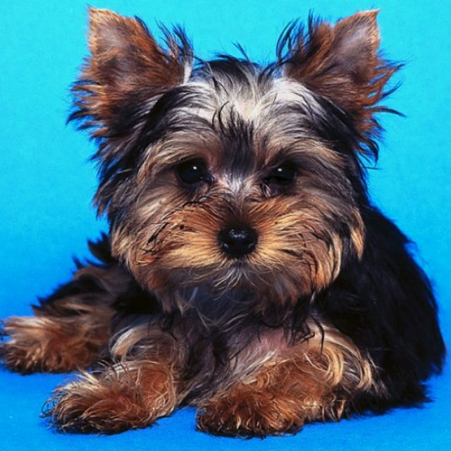 I want a Yorkie so bad I will get one :) perfect small dog for my small space
