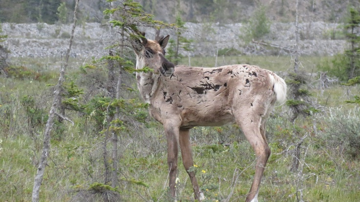 2012 - Caribou along the road