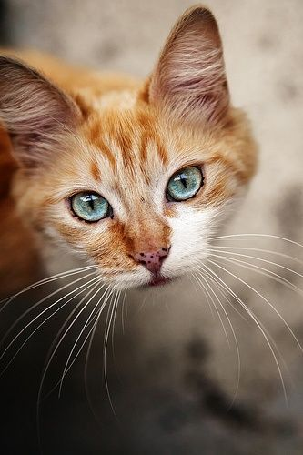 An orange cat with bright turquoise eyes walking on the sidewalk.