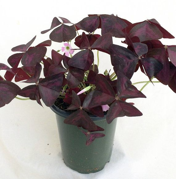 Rare 'Purple Rain' Shamrock Plant  Easy Houseplant by HirtsGardens