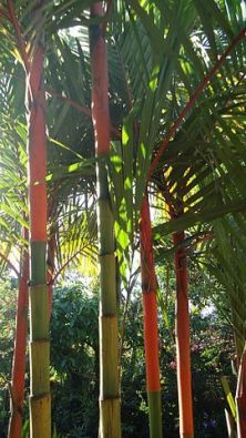 lipstick palm tree, cyrtostachys renda Buy Palm Trees and Plants - Buy Plants Online at RealPalmTrees.com RealBonsaiTrees.com or RealOrnamentals.com #PalmTreeGifts #DIY2015 #BonsaiTrees #MiamiBonsai #big #2015PlantIdeas #Summer2015Plants #Ideas #BeautifulPlant #DIYPlants #OutdoorLiving #decoratingareasideas