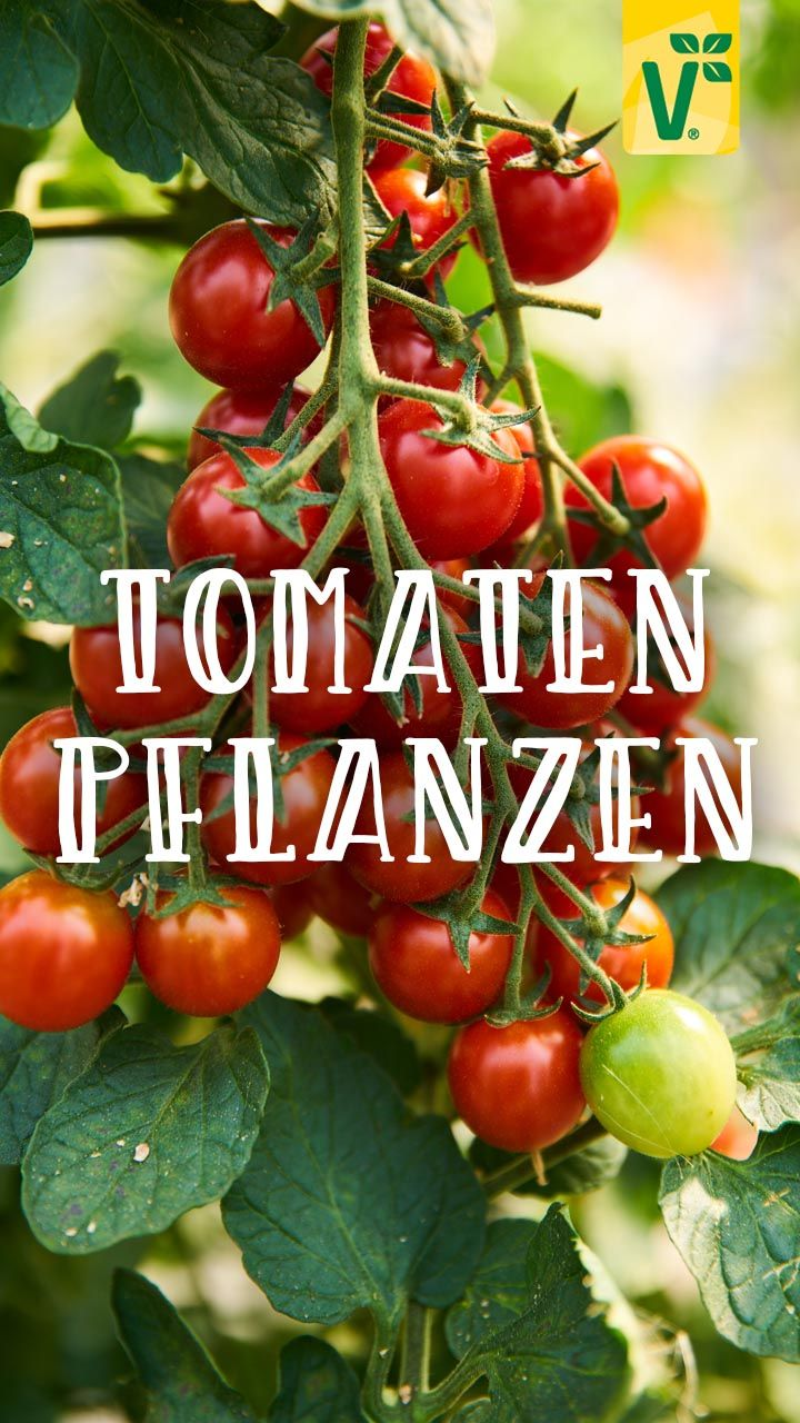 Tomaten Im Garten Pflanzen In 2020 Garten Pflanzen Tomaten Sorten Tomaten Pflanzen